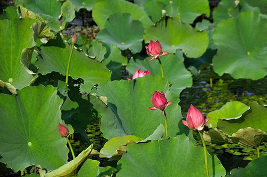 在公园的植物配置上,充分分析阳澄湖湿地植物群落及陆生植物群落,在